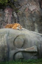 Tiger resting on Buddha head. Imgur. Author unknown.