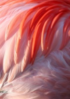 Flamingo Feathers by Cathrin via Photopin. cc. cc