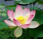Sacred Lotus, Wikimedia.