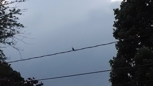 6 11 2014 mourning dove on wire before storm 3