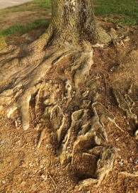 6 2 2014 ancient maple roots 4