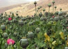 Opium poppies in Afghanistan. Wikimedia.