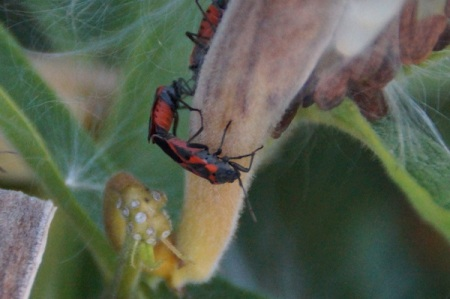 8 27 2014 box elder bugs mating 2