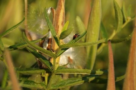 9 1 2014 milkweed floss and seeds 9 0