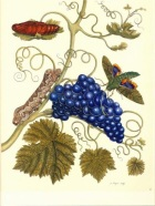Maria Sibylla Merian.  Plate of a Moth that Feeds on Grape, ca. 1700. Wikipaintings.
