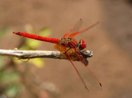 Red dragonfly from Namibia. Hans Hillewaert  CC-BY-SA-3.0