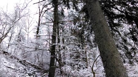 4 caledonia pines snowy
