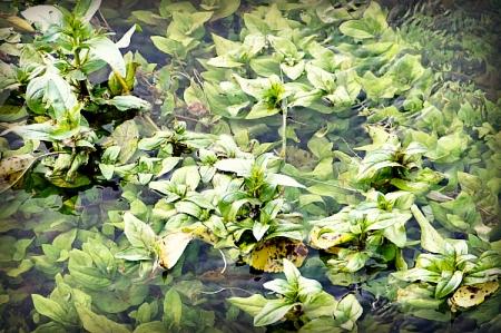 8 6 2014 creek pond seaweed 1