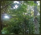 9 8 2014 caledonia trees sun silhouette 3_FotoSketcher