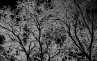 12 20 2014 trees black and white texture 1