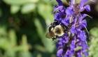 7 28 2014 bee on salvia 3a