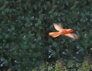 7 28 2014 cardinal in flight