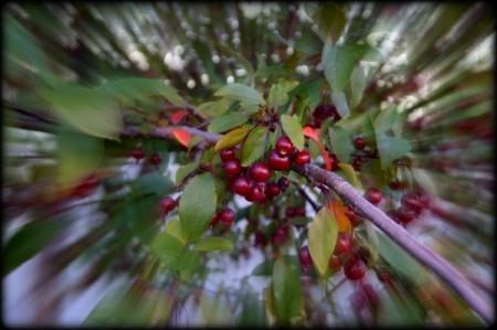 9 1 2014 cherry berries 2
