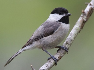 carolina-chickadee-wikipedia-small