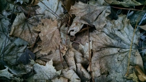 3 15 2015 leaves forest floor 1