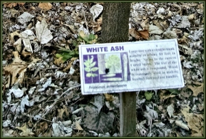 ash sign