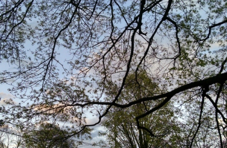 1  4 21 2015 budding branches trees silhouette 9 8