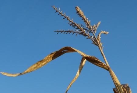 11 10 2014 gettysburg dry corn 3
