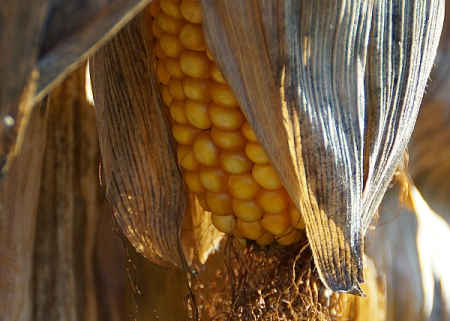 11 10 2014 gettysburg dry corn 9 5