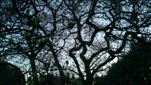 3 28 2015 dusk silhouette branches tree in cemetery