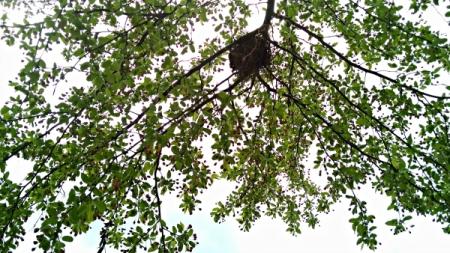 4 22 2015 tree buds branch nest 3