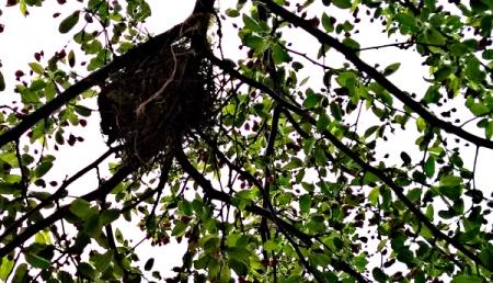 4 22 2015 tree buds branch nest 3a