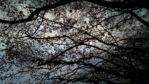 4 22 2015 tree buds branch silhouette 2