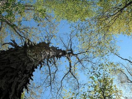 Shagbark hickory.  Sharro Badger via Wikimedia.