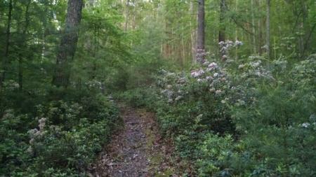 thaddeus stevens mountain laurel