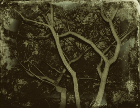 tree branches daguerreotype