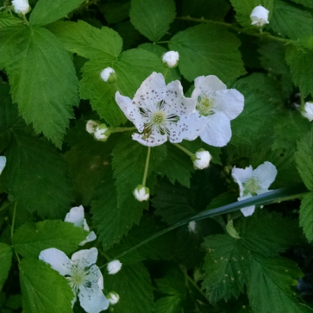 raspberry flower bug