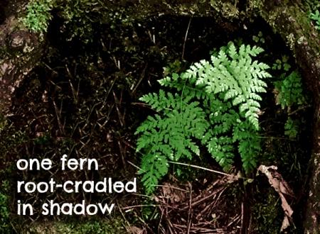 one fern root cradled in shadow haiga