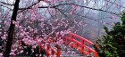 Cherry-Blossom-Festival-Japan